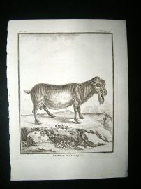 Buffon: C1770 Goat of Africa, Antique Print